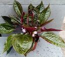 Monolena primuliflora 'Midnight Glory' - 2/4
