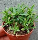 Euphorbia bupleurifolia - 2/3