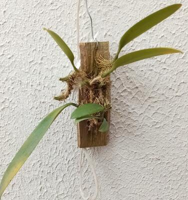 Bulbophyllum macranthum - 2