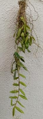 Trichoglottis orchidea - 2