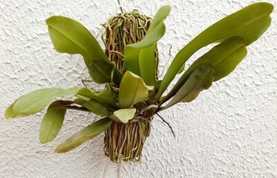 Pomatocalpa spicatum - 2