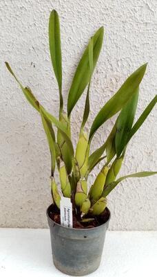 Agrostophyllum planicaule - 2