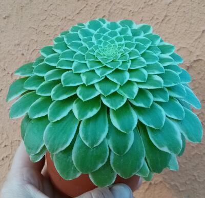 Aeonium tabuliforme 'variegata' - 2