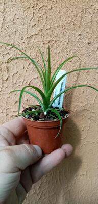 Tillandsia flabellata v. rubra - 2