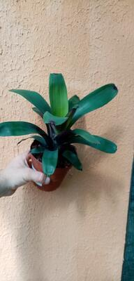 Vriesea bituminosa - 2