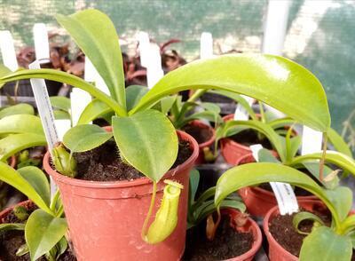 Nepenthes alata - 2