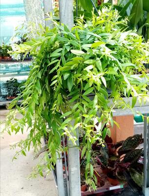 Aeschynanthus japhrolepis (velký trs) - 2