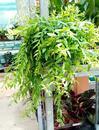 Aeschynanthus japhrolepis (velký trs) - 2/2
