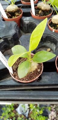 Hydnophytum papuanum - 2