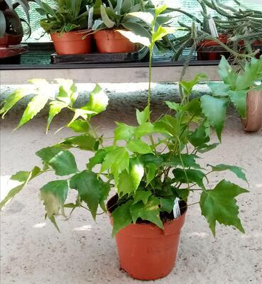 Cyrtomium falcatum (kapradina) - 2