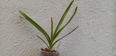 Vanda tricolor v. suavis 'alba' - 2