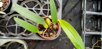 Bulbophyllum crassipes - 2