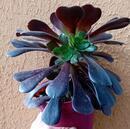 Aeonium arboreum 'Atropurpureum' - 2/2