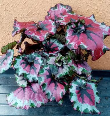 Begonia rex #7 (velký trs) - 2