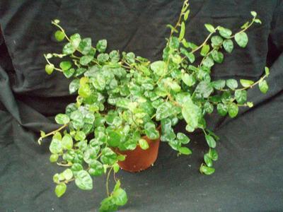 Ficus pumila - 2