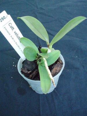 Cattleya velutina - 2