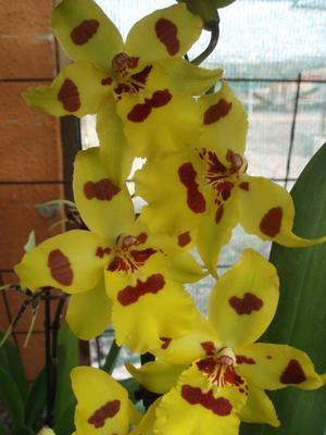 Kvetoucí orchidej Odontocidium #2 - 2