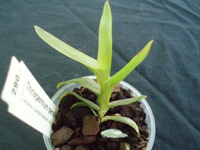Thrixpermum pensile - 2