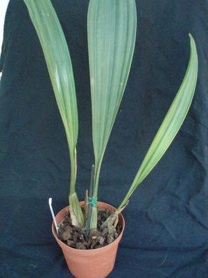 Pholidota imbricata - 2