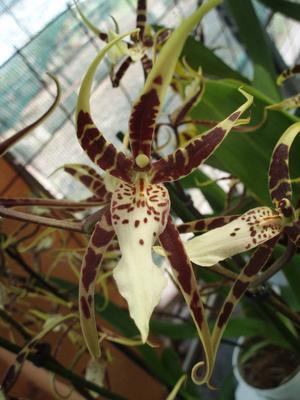 Kvetoucí orchidej Brassia - 2
