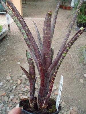 Neoregelia ampullacea var. purpurea - 2