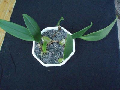 Bulbophyllum rigidum - 2
