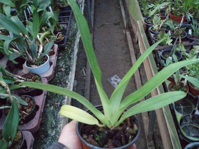 Paphiopedilum rotschildianum - 2