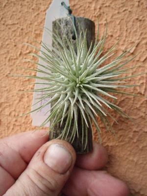 Tillandsia fuchsii v. fuchsii - 2