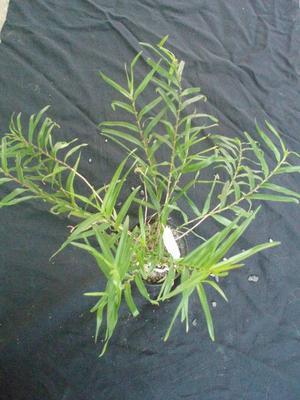 Dendrobium auriculatum - 2