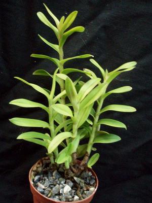 Epidendrum capricornu - 2