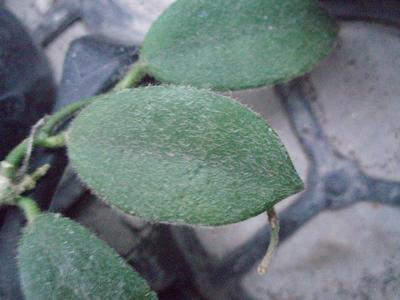 Hoya thompsonii - 2