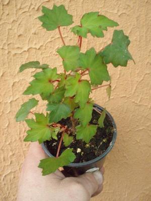Begonia dregei - 2