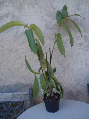 Epidendrum nocturnum XL - 2
