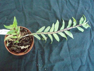 Dendrobium lawesii 'White-pink' - 2