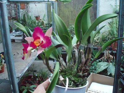 Katleya (Cattleya) - kvetoucí orchidej #1 - 2