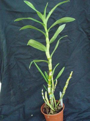 Dendrobium Chian-Tzy Lixia 'Lixia No.1' - 2