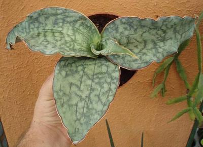 Sansevieria kirkii cv. Silver Blue - 2
