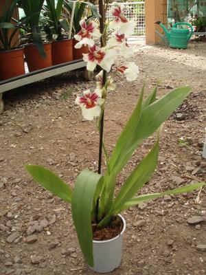 Kvetoucí orchidej Cambria #8 - 2