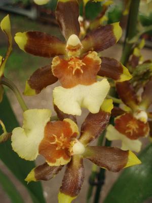 Kvetoucí orchidej Cambria #9 - 2