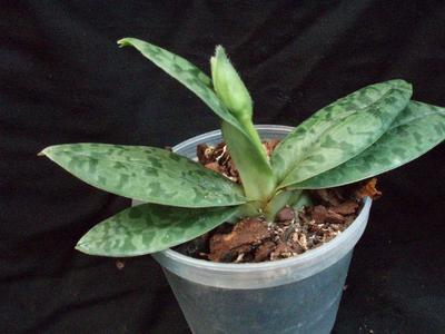 Paphiopedilum wardii v. aureum - 2