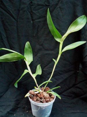 Epidendrum tridens - 2