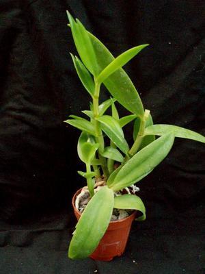 Dendrobium antennatum - 2