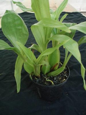 Gongora aromatica - 2