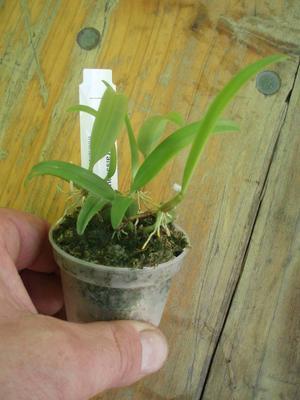 Bulbophyllum odoratissimum - 2