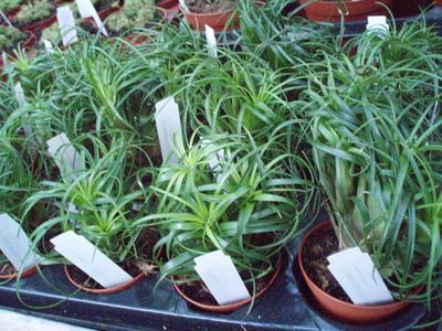 Vriesea correia-araujoi - 2