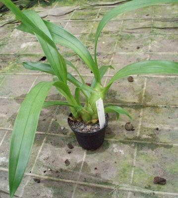Pinalia floribunda - 2