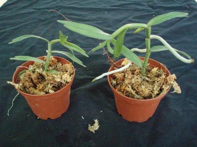 Angraecum erectum - 2