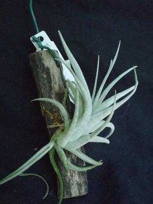 Tillandsia subsecundifolia - 2