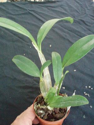 Dendrobium speciosum 'Peninsula Princess' - 2