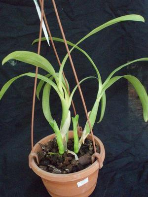 Encyclia vespa - 2